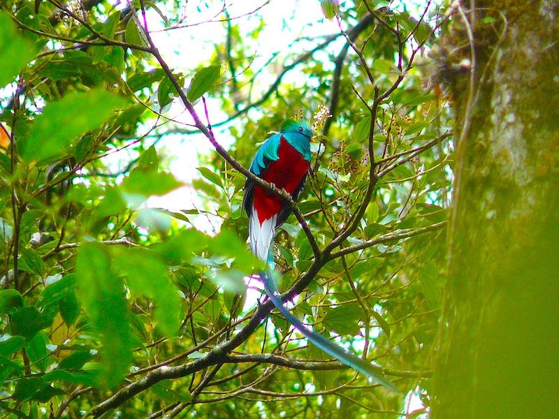 Panama Quetzal-Vogel