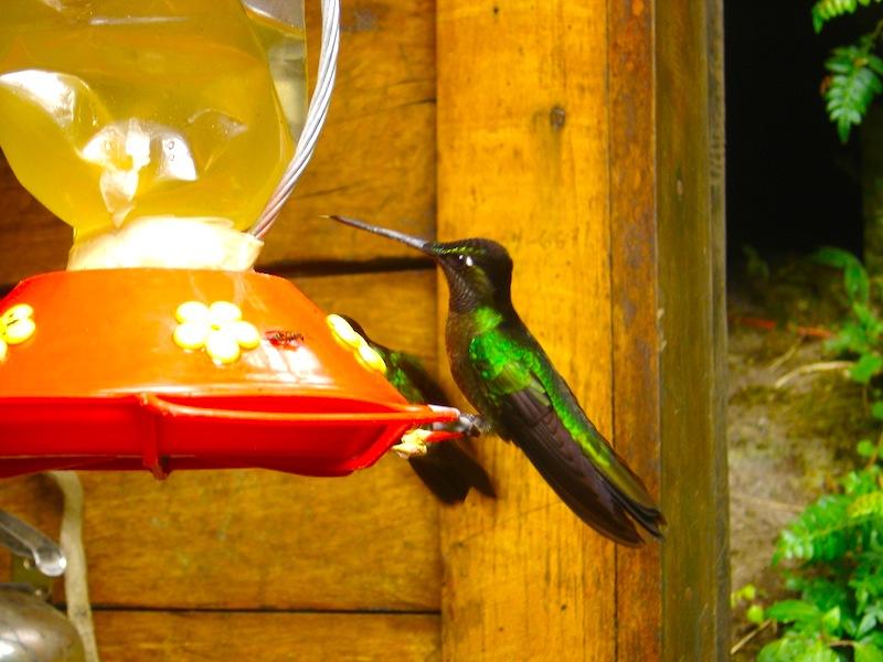 Mietwagenreise das grüne Panama Kolibri